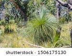 Grass Tree In The Australian...