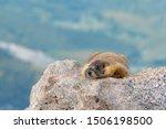 Yellow Bellied Marmot Resting...