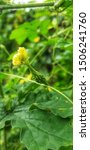 Small photo of Yellow flower and fruit of Momordica charantia, Balsam apple, Balsam pear.