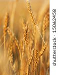 Gold wheat field. Nature background - stock photo
