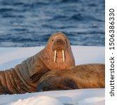 Walruses  Odobenus Rosmarus  O...