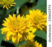 Yellow Flowers Head Of...