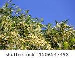 Australian Wattle Tree In Bloo...