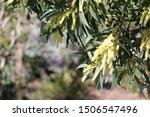 Australian Wattle Flower With...