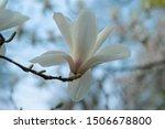 Magnolia Cream Flowers Blooming ...