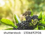 Clusters Fruit Black Elderberry ...