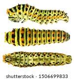 Common Yellow Swallowtail  Old...