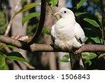 white australian bird sunning... | Shutterstock . vector #1506843