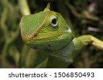 Reptile   Bronchocela Jubata ...