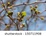 Green Maple Buds In Spring...