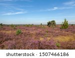 Blooming Heather And Trees In A ...