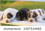 Stock photo three sleeping puppy cute puppy on the table 1507514483