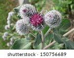 downy burdock or woolly burdock ... | Shutterstock . vector #150756689
