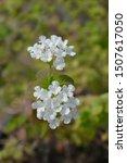 Trailing Lantana White Flower ...