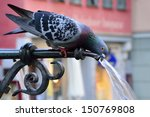Pigeon Drinking Water On A Hot...