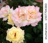 Stock photo photo flower bud of a pink and yellow rose rosebud opened beauty yellow rose with lush petals 1507704383