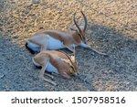 two dorcas gazelle rest in the...   Shutterstock . vector #1507958516