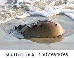Horseshoe Crab Near The Waves...