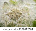 Dandelion In Dew Drops Early In ...