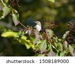 Red Eyed Vireo Perched In A...
