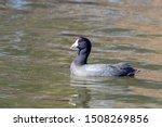 American Coot Bird In The Lake