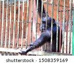 The Black Monkeys In The Zoo...