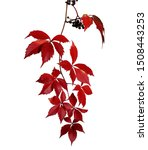 Small photo of Branch of autumn red virginia creeper leaves isolated on white background