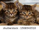 Stock photo two cute little grey kitten with blue eyes relaxing closeup portrait of grey kittens the kitten 1508543510