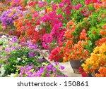 Flower   Bouganvilla Color...
