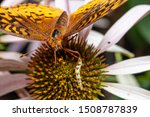 wiscosin fritillary, boloria butterfly on coneflower plant with an inch worm caterpillar