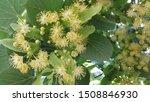 Linden. Linden Flowers....