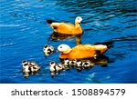 Ducks With Ducklings In Water....