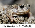 "Small photo of Iberian midwife toad ""Alytes cisternasii"" in Valdemanco, Madrid, Spain"