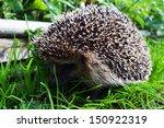 cute hedgehog running on grass   Shutterstock . vector #150922319