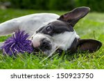 Stock photo french bulldog puppy with toy 150923750
