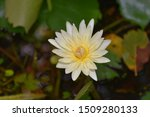 White Yellow Waterlily In The...