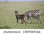 Rare Polka Dotted Zebra Foal I...