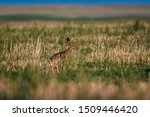 Stock photo wild hare sitting in the grass 1509446420