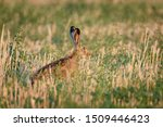 Stock photo wild hare sitting in the grass 1509446423