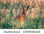 Stock photo wild hare sitting in the grass 1509446426
