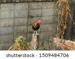 One Young Rooster Stood On A...