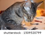 Stock photo mother cat grooming her newborn kitten 1509520799