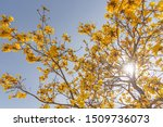 Tabebuia Vellosoi Tree. Found...