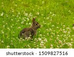 Eastern Cottontail Rabbit Feed...
