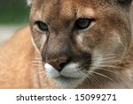 closeup of a cougar. | Shutterstock . vector #15099271