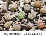Lithops The Colorful Cactus....