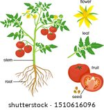 parts of plant. morphology of... | Shutterstock .eps vector #1510616096
