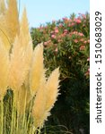Ortaderia Grass And Oleander...