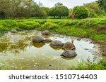 Stock photo galapagos giant tortoise on santa cruz island in galapagos islands ecotourism tourist looking at 1510714403