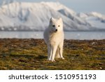 Arctic fox in the rays of sunset